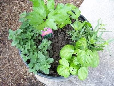 herbs 6/19/08
