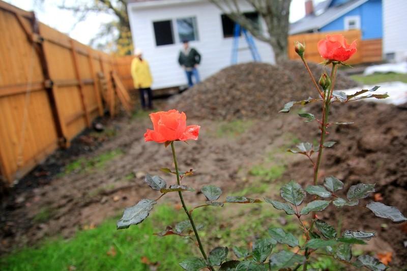 rose in backyard